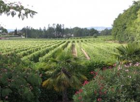 Vignes de Touny les Roses Gaillac